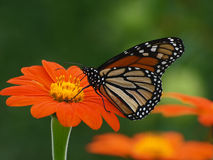 Free Monarch Butterfly Stock Image - 13461601