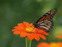 Monarch Butterfly. Perched on a Mexican Sunflower Royalty Free Stock Photography