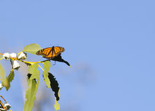 Free Monarch Butterfly Royalty Free Stock Photography - 14402917