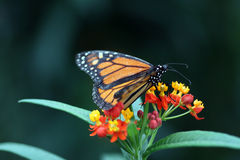Monarch Butterfly. (Danaus plexippus) feeding on flowers Royalty Free Stock Image