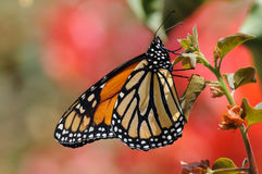 Monarch Butterfly. Closeup of the Monarch Butterfly stock photos
