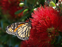 Monarch butterfly. Sitting ont pohutukawa blossom royalty free stock photography