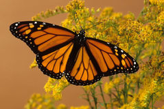 Female Monarch Butterfly Stock Photo