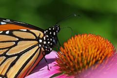 Monarch Butterfly. Danaus plexippus Close-up Feeding on Coneflower Royalty Free Stock Image