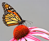 Monarch Butterfly. (Danaus plexippus) feeding on nectar from a purple coneflower isolated against a grey background
