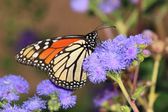 Monarch Butterfly. On Blue Mistflowers, Danaus plexippus Royalty Free Stock Images
