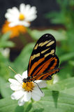 Monarch Butterfly. On a daisy stock images