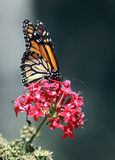 Monarch Butterfly. Orange Monarch butterfly on red pink flowers with gray background royalty free stock images
