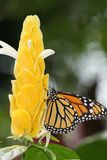 Monarch Butterfly. Milkweed Butterfly or Danaus Plexippus found in the Americas and Southeast Asia Royalty Free Stock Image