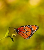 Monarch butterfly. Beautiful monarch butterfly, monarch danaus plexippus royalty free stock photography