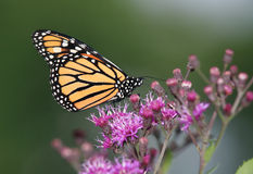 Monarch Butterfly. On Purple Flowers, Danaus plexippus Stock Images