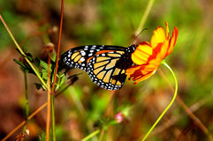 Monarch Butterfly. A Monarch buterfly enjoying its honey lunch Stock Photo