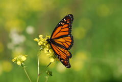 The Monarch butterfly Stock Images