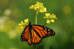 The Monarch butterfly Royalty Free Stock Photo