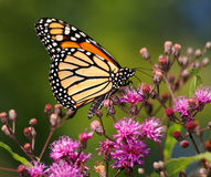 Monarch Butterfly. Nectaring On Small Pink Flowers, Danaus plexippus royalty free stock photo
