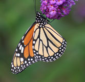 Monarch Butterfly. A beautiful, colorful and graceful monarch butterfly sipping on our butterfly royalty free stock photography