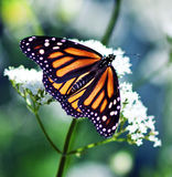 Monarch Butterfly. A close up of a beautiful monarch butterfly stock images