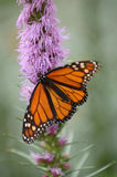 Monarch Butterfly. On flower royalty free stock photos