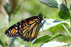 Monarch Butterfly - 2. Close-up of a monarch butterfly (Danaus plexippus royalty free stock photo