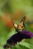 Monarch Butterfly 2. Close up of beautiful monarch butterfly on purple flower royalty free stock images