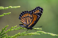 Monarch Butterfly 2 - Danaus plexippus. This is a colorful orange, black, blue, and white monarch butterfly, Danaus plexippus, sitting on a juniper bush Royalty Free Stock Image