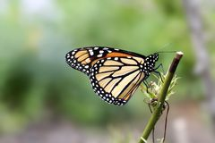 Monarch butterfly. Macro photo of a monarch butterfly Royalty Free Stock Photo