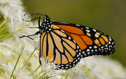 Monarch Butterfly. A beautiful Monarch butterfly prepares to migrate to a warmer climate Royalty Free Stock Photography