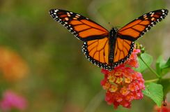Monarch Butterfly. Feeding on a lantana flower Royalty Free Stock Images