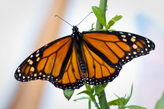 Monarch Butterfly. Close up of a monarch butterfly in California stock photo