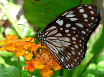 Monarch Butterfly. A butterfly is an insect of the order Lepidoptera. The scope of the term butterflies depends on how far the concept is extended. Currently Royalty Free Stock Images