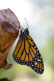 Monarch butterfly. On a piece of wood Stock Image