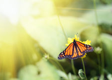 Monarch butterfly. In the golden sun royalty free stock image