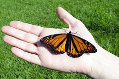 Monarch Butterfly. Sites on a hand stock images
