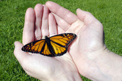 Monarch Butterfly. Sites on hands Royalty Free Stock Image