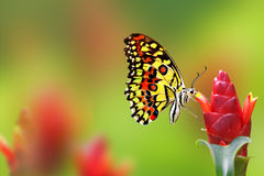 Monarch Butterfly. On green red background royalty free stock photo