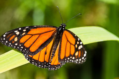 Monarch butterfly. On a plant leaf royalty free stock images