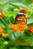 Monarch butterfly. On Lantana flower Royalty Free Stock Photography