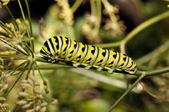 A Monarch butterfly Royalty Free Stock Photography