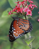 Monarch Butterfly. Is slurping nectar from the flower Royalty Free Stock Image