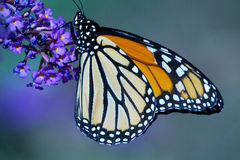Monarch Butterfly. With closed wings profile Royalty Free Stock Images