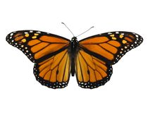 Monarch Butterfly. Isolated on a white background Stock Images