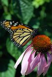 Monarch butterfly. Beautiful large monarch butterfly drinking nectar of pink daisy Royalty Free Stock Image