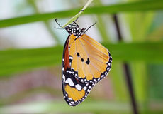 Monarch butterfly. Hanging upside down on a leaf Royalty Free Stock Photography