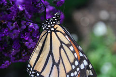 Monarch Butterfly. Close up of a monarch butterfly on bright purple flowers stock photos