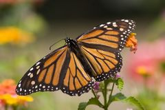 Monarch Butterfly. Full Wings on Lantana royalty free stock images