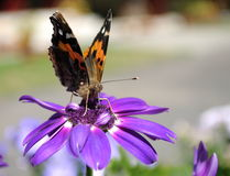 Monarch butterfly. Royalty Free Stock Photos