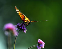 Monarch butterfly. Sitting on a flower backlit by sunlight Stock Photography
