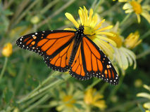 Free Monarch Butterfly Royalty Free Stock Photography - 3081127
