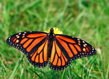 Free Monarch Butterfly Royalty Free Stock Image - 3088266
