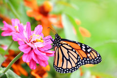 Monarch butterfly. A Monarch butterfly perched on a pink flower with colorful and flourished background Royalty Free Stock Image